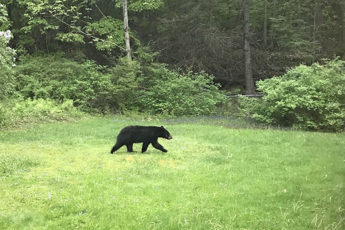 Bear walking through Deliah's yard