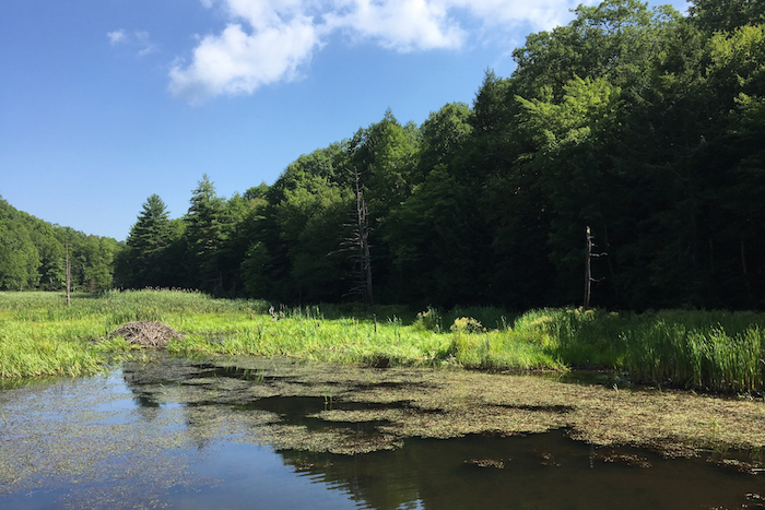 A serene beaver pond along the trail