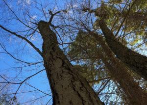 black birches