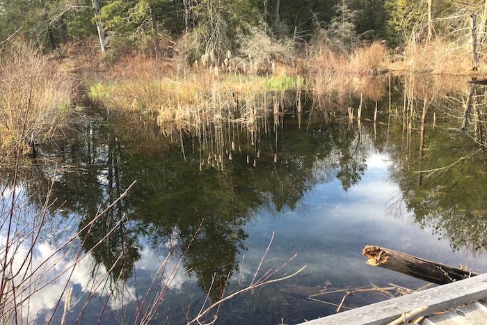 beaver pond in progress at the bridge