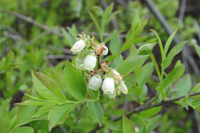 lowbush blueberry (vaccinium-angustifolium) flowers